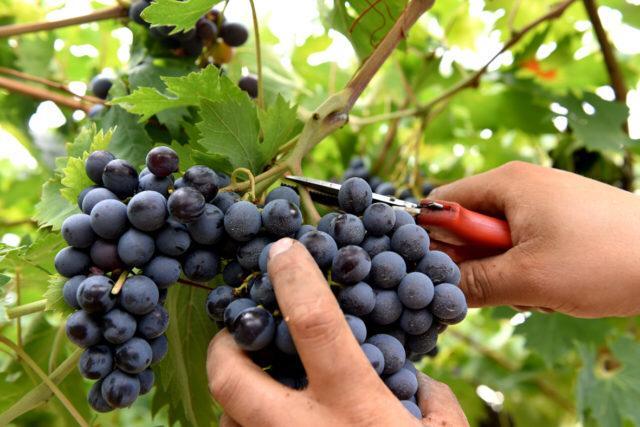 TREKKING Dall'uva al vino…vendemmia nelle lanze